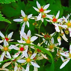 白山の高山植物。。。勲章のようなダイモンジソウ。。。