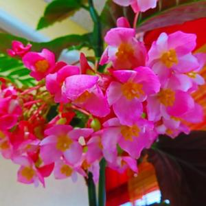 いつのまにか開花の木立ベコニア。。。