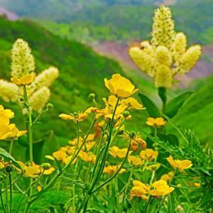 白山の高山植物。。。種類の多い黄色い花。。。