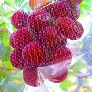石川県産のブランド葡萄 ルビーロマン...食べ頃。。