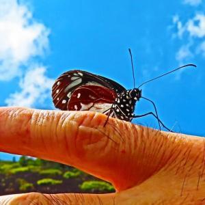 人懐っこいアサギマダラ蝶と富士登山。。。