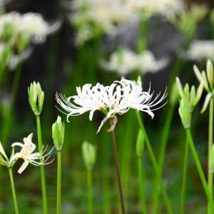 金沢市 香林寺境内の白い彼岸花。。。