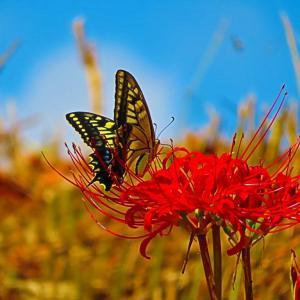 お彼岸が近づいて 見頃を迎えた彼岸花に戯れる蝶。。。