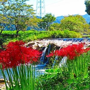 秋の西尾八景 十二滝の彼岸花。。。