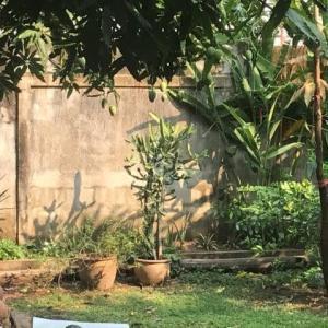 宿の隣家の庭のマンゴー