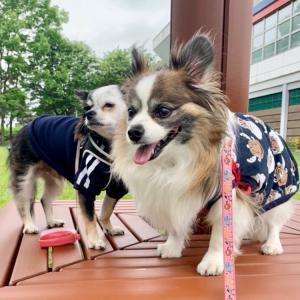 2021/6/19きらり パピチワ翔太とお散歩