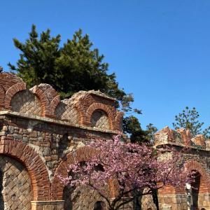 ディズニーシーの河津桜は今が見頃です(画像4枚)