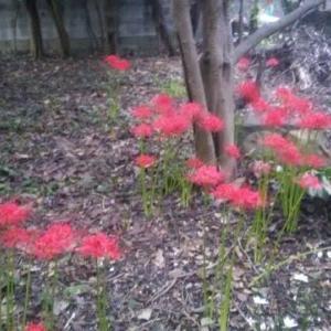 コロナくんのことしも彼岸花❗ ひっそり粛々と咲いています。村重杏奈さんもゆっくり休んでね❤