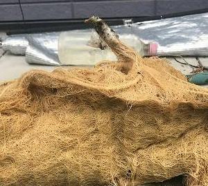 見事なゴーヤの水根です。