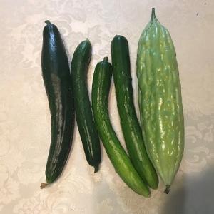 今年のゴーヤ初収穫です。