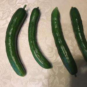 2期作目のキューリ初収穫です。