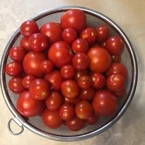 トマト収穫絶好調です。