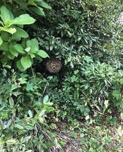 スズメ蜂の巣を退治する。