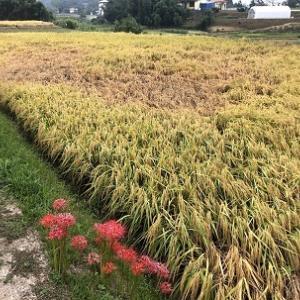 稲刈り前にウンカの被害拡大