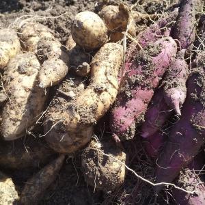 さつま芋の収穫と蔓の色