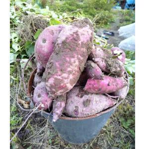 【京都市内で収穫体験】サツマイモ・落花生を掘りにきませんか?