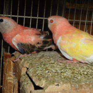 今年生まれのアキクサインコ2羽