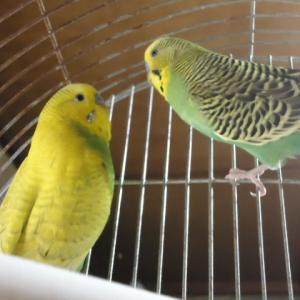 今年生まれの大型セキセイインコ♂2羽