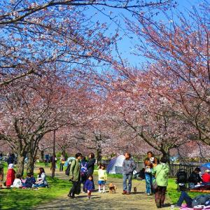 ここ2週間の寒さで桜が満開になりません