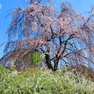昭和記念公園もチューリップ、桜もまだでした
