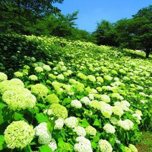 埼玉県の紫陽花を見に行きました