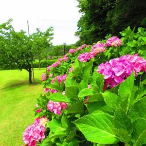 引地川 親水公園の紫陽花