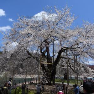荘川桜♪♪
