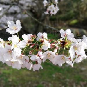 2021年兵庫県【明石公園】の桜を見て来ました!人の出が多くて驚きました