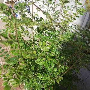 誕生日の記念に【シマトネリコ】の小さい鉢植えを買いました