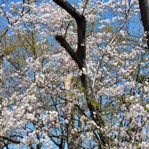 今年も桜はきれいでした