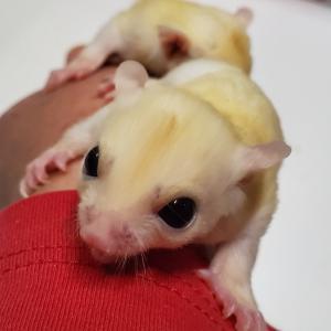 フクロモモンガ・リューシスティック双子