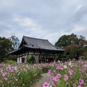 般若寺(秋桜)