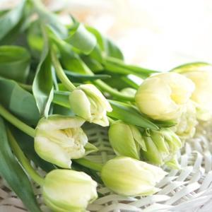 咲くまで時間がかかる八重咲きチューリップ♪