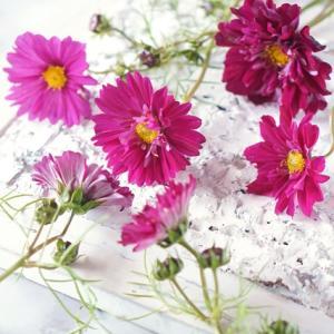 クランベリーカラーの八重咲きのコスモス♪