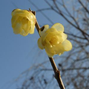 2月22日(月)の発電実績。突然の春 蝋梅が開花