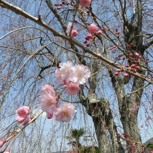 4月の検針結果。投資の回収まであと1ヶ月。4月8日(木)の発電実績 庭の枝垂れ桜と花桃の開花状況