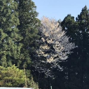 4月21日(水)の発電実績 春の山菜の王様をいただき、山桜の満開と子狐の不幸を知る