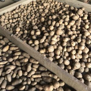 今年の梅雨も明けました。ジャガイモの収穫。