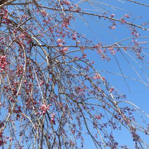 4月15日(月)の発電実績。庭の桜が開花。