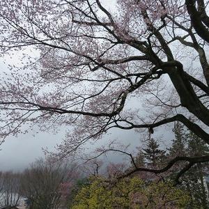 亀之丞(井伊直親)ゆかりの地と桜守の旅(6)長姫ゆかりの安富桜と飯田城跡