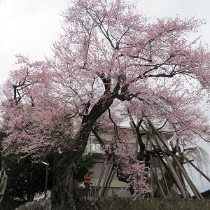 亀之丞(井伊直親)ゆかりの地と桜守の旅(7)桜丸御殿址に咲く夫婦桜