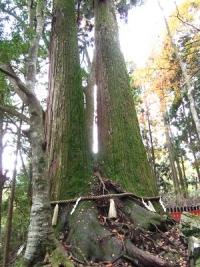 貴船神社(8)相生の杉