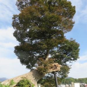 多賀町を巡る(7)多賀大社のケヤキ「男飯盛木」