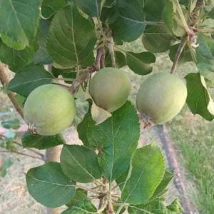 メダカにリンゴ