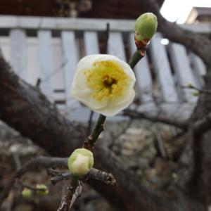 梅開花に  麒麟がくる ついに来た