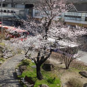 長引く自粛の中—ささやかな息抜き外出—開花の桜