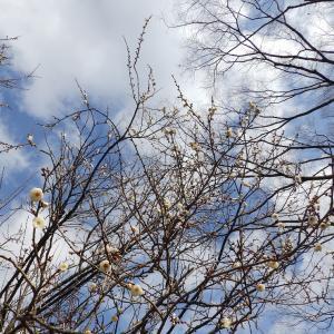 早咲きの梅―勢いを感じさせてくれます