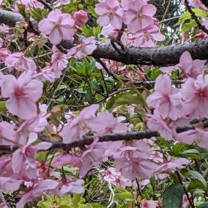 桜―ウキウキ感にセーブしながら今年も楽しむ