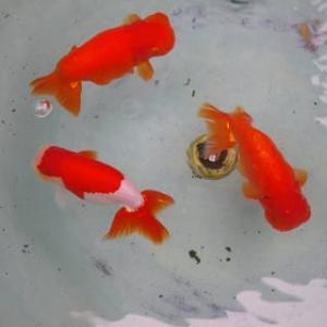 ~~★彡 ≪ 金魚の王様・ランチュウ ≫ ★~~彡