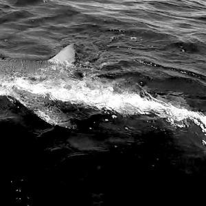 2021超巨大サメを狙う!:その理由